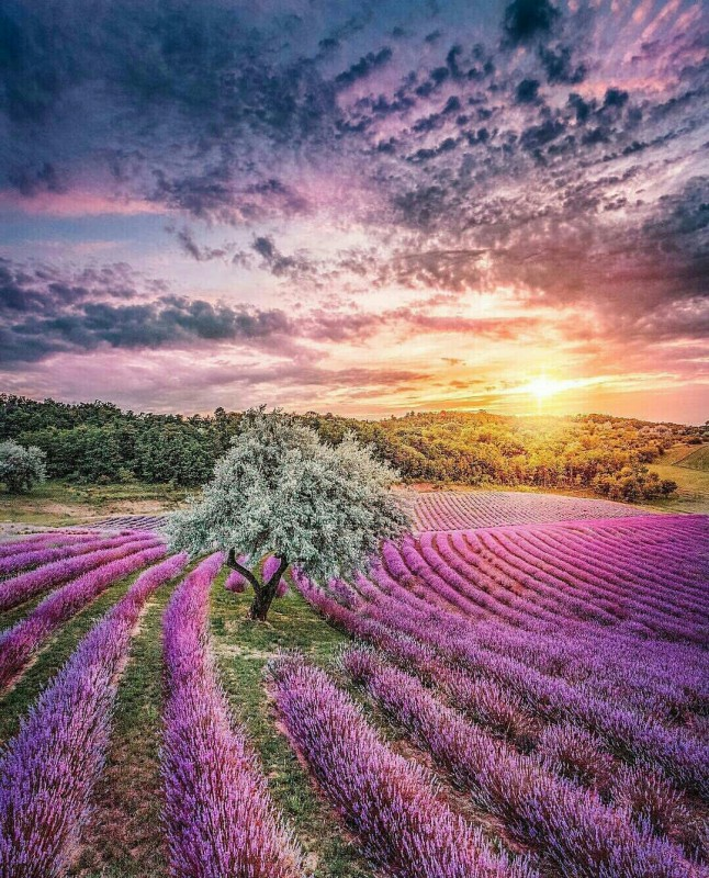 Lavender Fields, Hungary